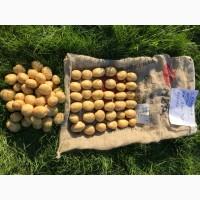 Волинська картопля. Продам якісне насіння картоплі