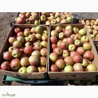 Яблоки оптом зимних сортов из своего сада