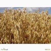 Семена голозерного овса Самуэль. 1 репродукция