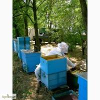 Продаю пчелосемьи, пчелопакеты, пчеломатки карпатской породы