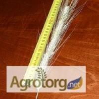 Семена канадской пшеницы. Продажа от 500 кг