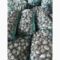 Продам чеснок озимый молодой сорта ЛЮБАША 2017 года урожая