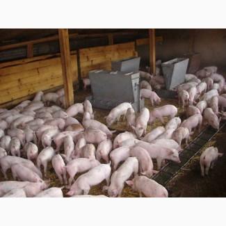 Закупаем свиней по всей Украине