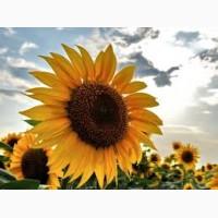 Продам високоврожайний соняшник Ауріс