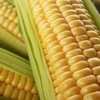 Продам високоврожайну кукурудзу Гран 1 ФАО(370)