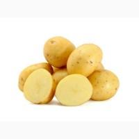 Картопля белароза оптом