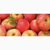 Продам Яблука сорту Гала