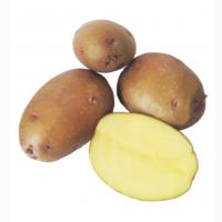 Продам насіння картоплі ІІ репродукції, сорти Лаперла, Звіздаль, Чарунка, Арія, Гала