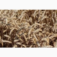 Озимая пшеница Вежа (елита)