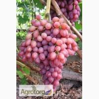 Продаем столовый виноград сортов: Лидия, Аркадия, София, Лора