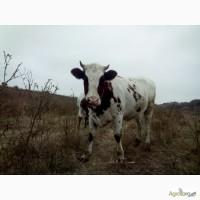 Продам ТЁЛКУ! Красно рябая, возраст 22 мес., строк тельности 4 мес., отёл в июле 12 000