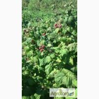 Продам саженці малини та полуниці