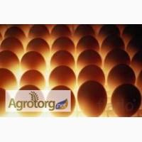Инкубационное яйцо бройлера КОББ-500 и мясо яичных кур.Венгрия
