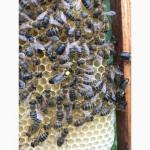 БДЖОЛОМАТКИ Карпатка 2021 року ПЛІДНІ Пчеломатки, Бджолині матки