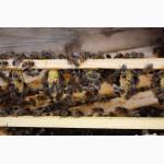 БДЖОЛОМАТКИ Карпатка 2020 року ПЛІДНІ Пчеломатки, Бджолині матки