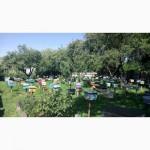 БДЖОЛОМАТКИ Карпатка 2019 року ПЛІДНІ Пчеломатки, Бджолині матки