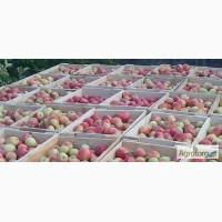 Яблоки оптом +6.5 от производителя! Цена договорная