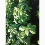 Продам Базилик зеленый свежий