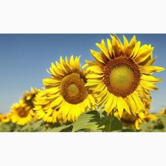 Продам високоврожайний соняшник під Гранстар
