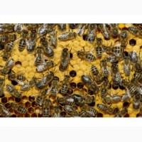 Куплю бджолосім#039;ї на рутовській рамці 20шт. в Черкаській обл