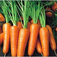 Продам морковь раннюю Абако от производителя