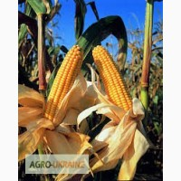 Семена гибридов кукурузы компании «МОНСАНТО» (MONSANTO)