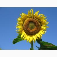 Реалізуємо Насіння соняшнику, гібрид Бонд, іноземної селекції стійкий до гранстару