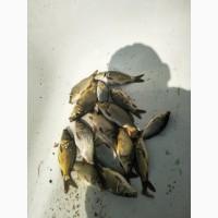 Продам, зарыбок карп украинский рамчатый сеголетка (амур, тостолоб)