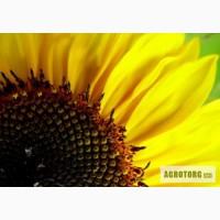 Продам насіння соняшника гiбрид Олівер