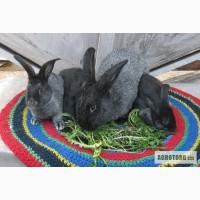 Продаются кролики породы Серебристые.