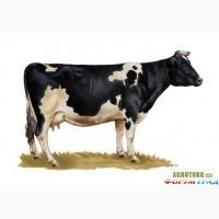Продам корову!