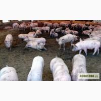 Свиньи для откорма