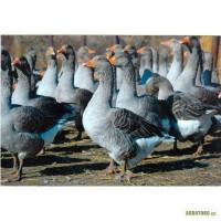 Продаємо суточні гусята породи Велика сіра