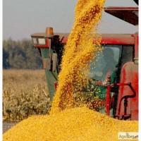 Семена F1 кукурузы Пионер
