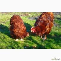 Продаю инкубационные яйца кур породы Орпингтон шоколадный