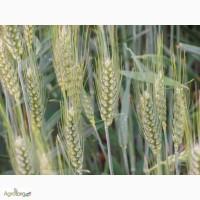 Семена озимой пшеницы Мидас 1 репродукция, Австрия (продам)