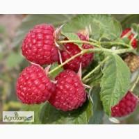 Продаю саджанці малини сорт Полана та Полка, також є розсада полуниці