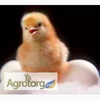 Цыплята суточные Мастер-грей, Испанка голошея каждый четверг апреля от предприятия