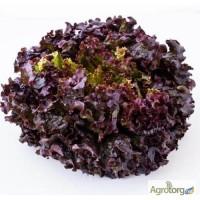 Продам семена Салат Дубовый лист красный