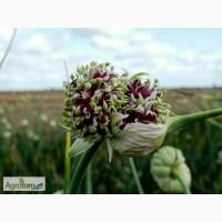 Продам воздушку семян чеснока сорта Cофиевский