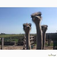 Продаём южноафриканского страуса, молодняк