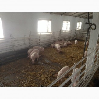 Компания (этнопродукт-юг)продаст поросят мясной породы