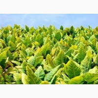 Табак выращивание под заказ