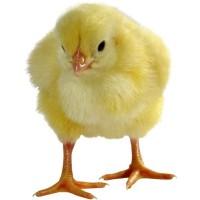 Яйцо бройлер. Рос 708, Кобб 500, Роос 308, Яйцо для инкубации бройлер