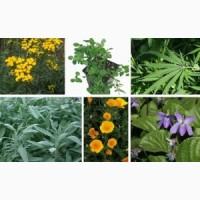 Купляємо лікарські рослини за високими цінами