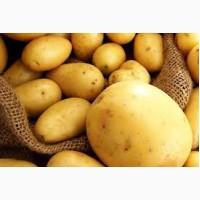 Продам картофель на экспорт, опт в больших количествах