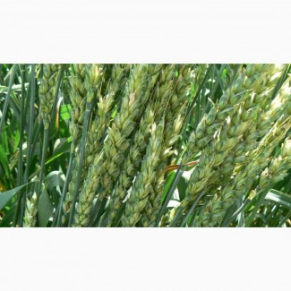 Озимая пшеница Кубус