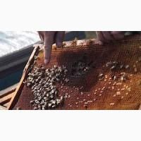 Продам бджоломатки. Порода Бакфаст