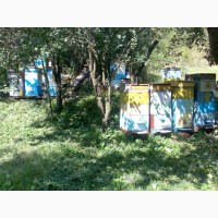 Продам пчелосемьи.отводки