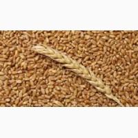 Закупка пшеницы. Вся Украина. Самовывоз